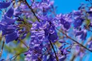 Stunning Blue Jacaranda 10 Seeds- Garden/Bonsai